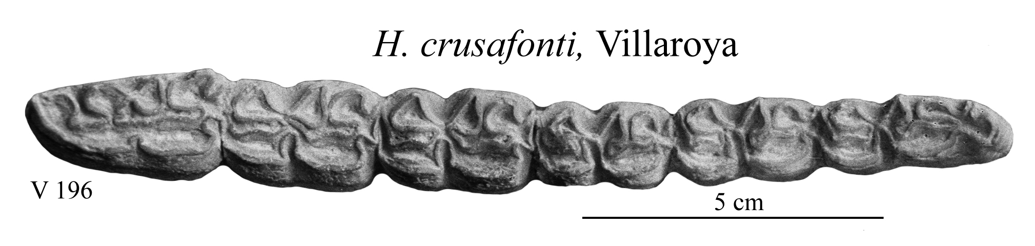 H. crusafonti, Lower cheek teeth