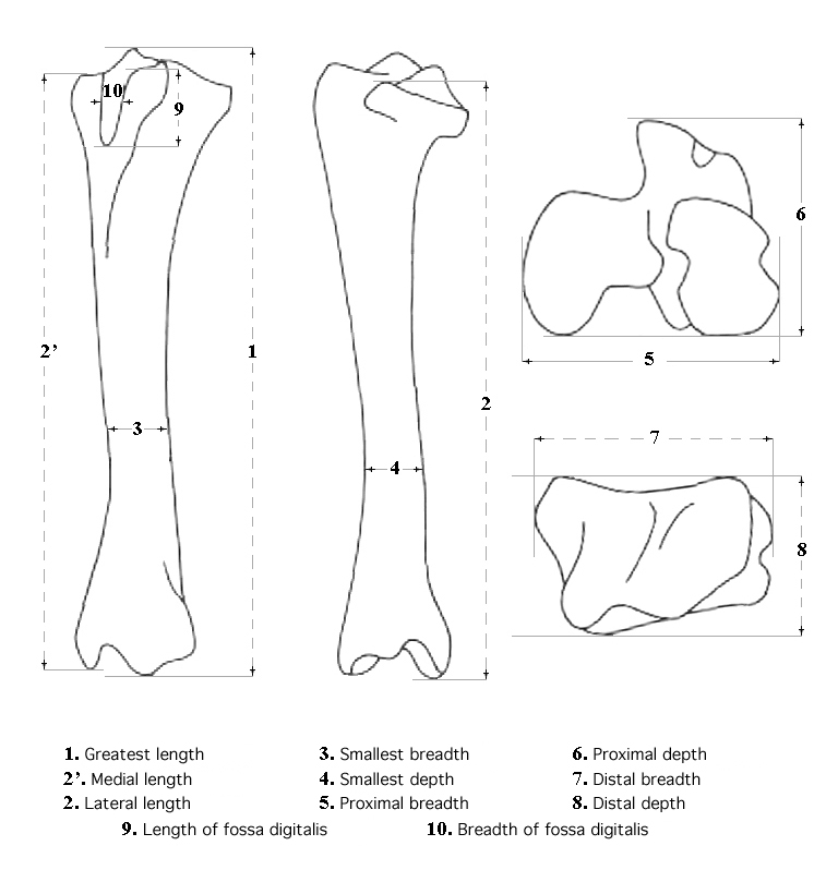 Tibia system of measurements