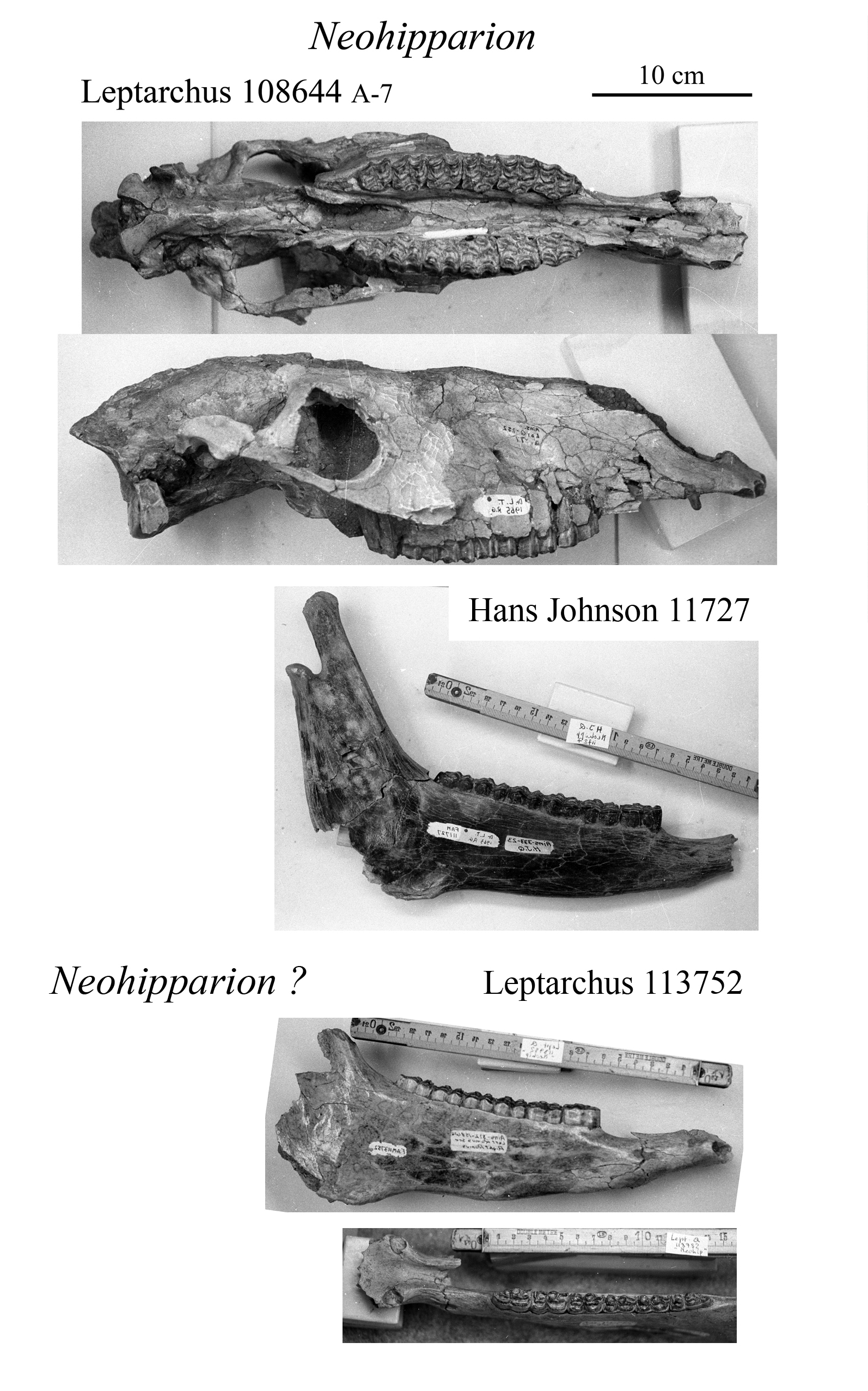 Neohipparion skull and mandibles