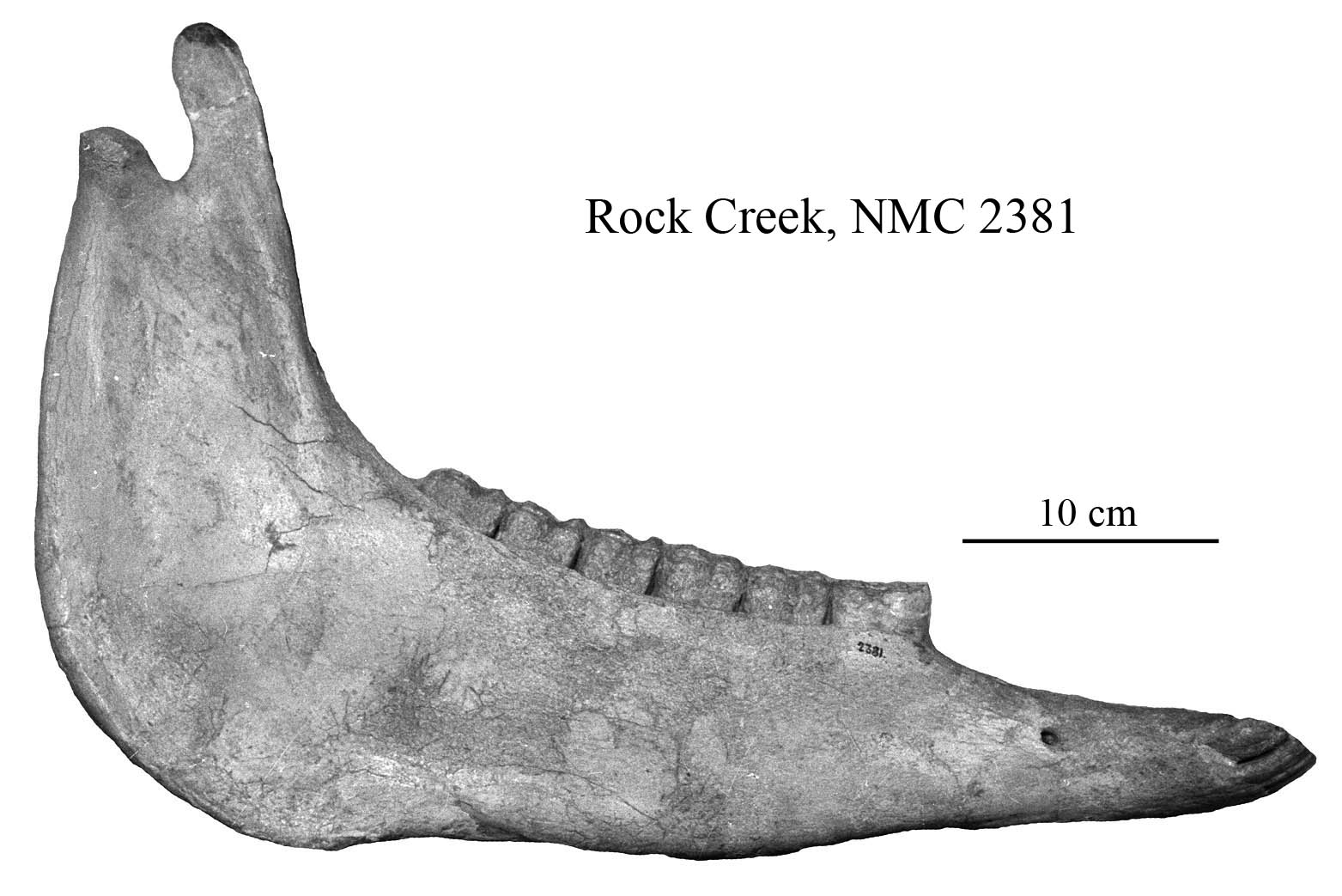 E. scotti NMC 2381, mandible profile