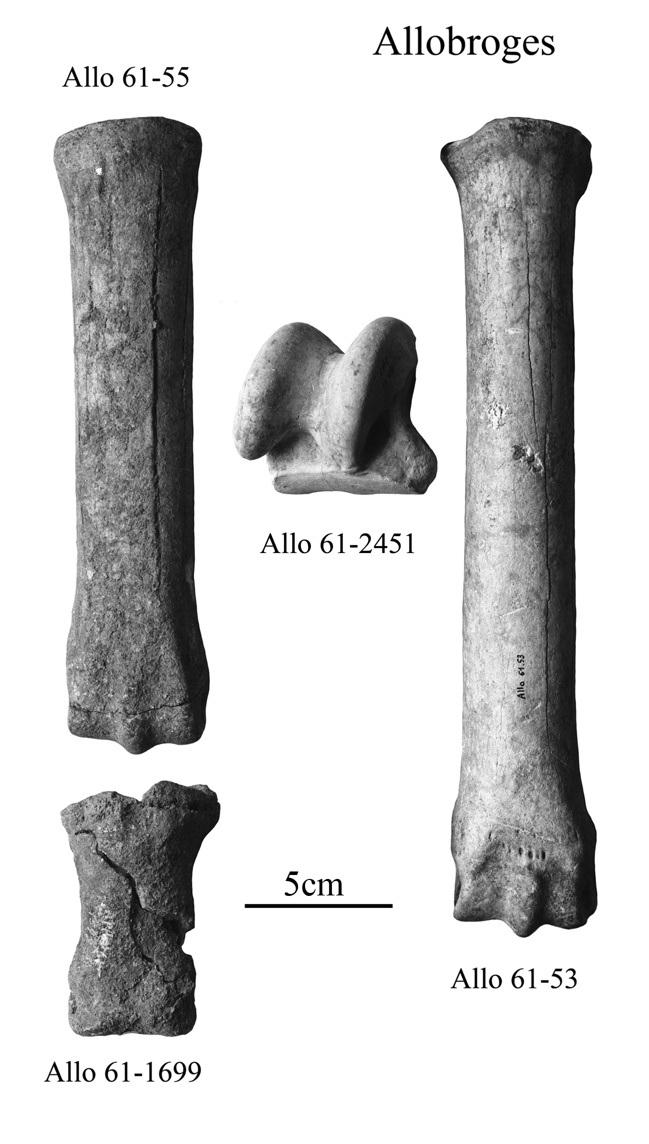 Fig.2 Allobroges, E. algericus, Limb bones