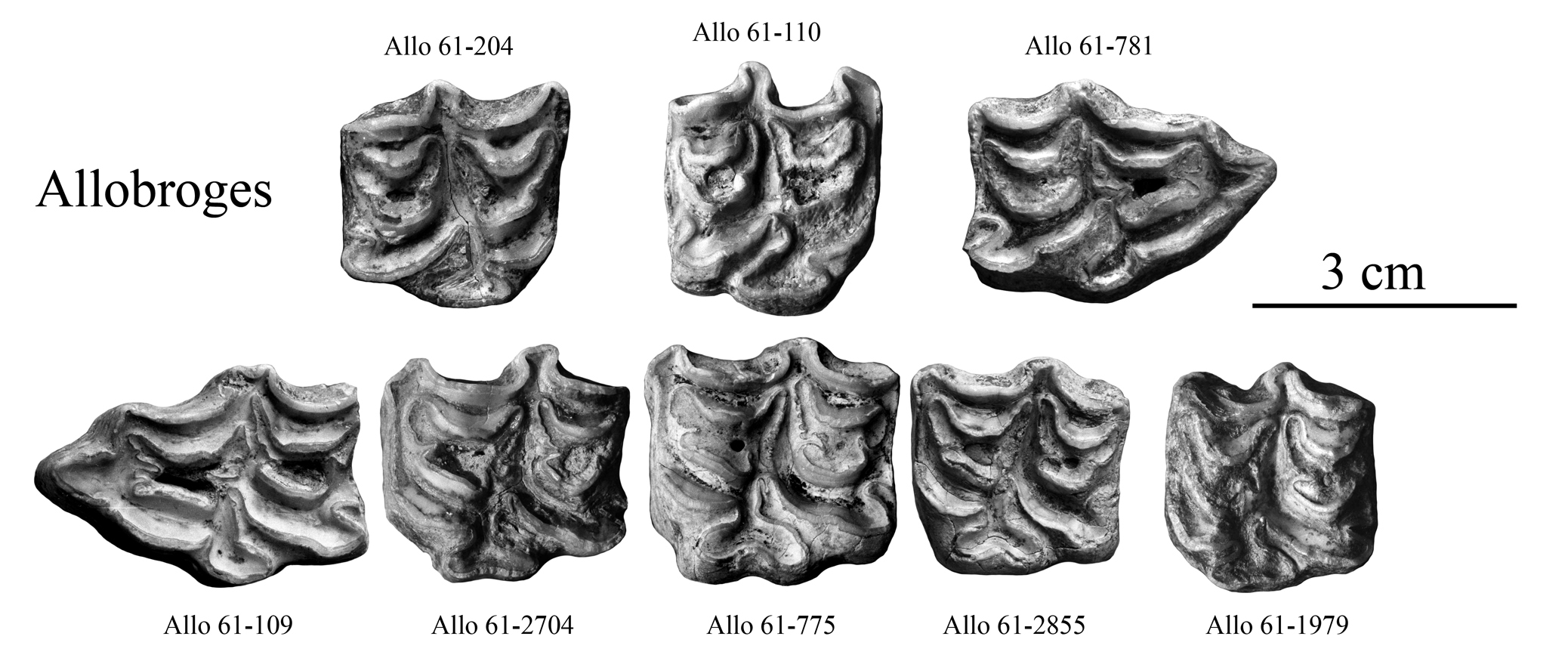 Equus melkiensis and E. aff. melkiensis, Upper cheek teeth