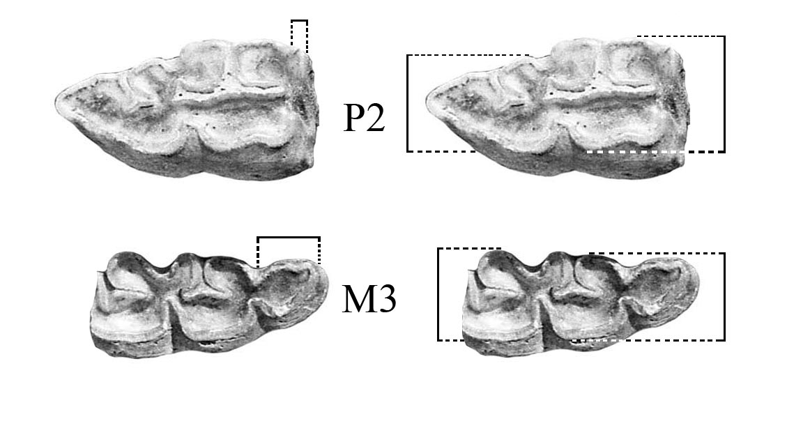 Fig.1 Lower P2 and M3