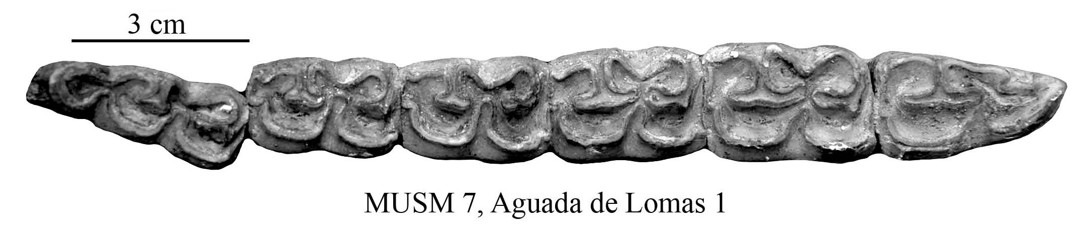 Equus Amerhipus Insulatus From Peru MUSM 7 Cranium And