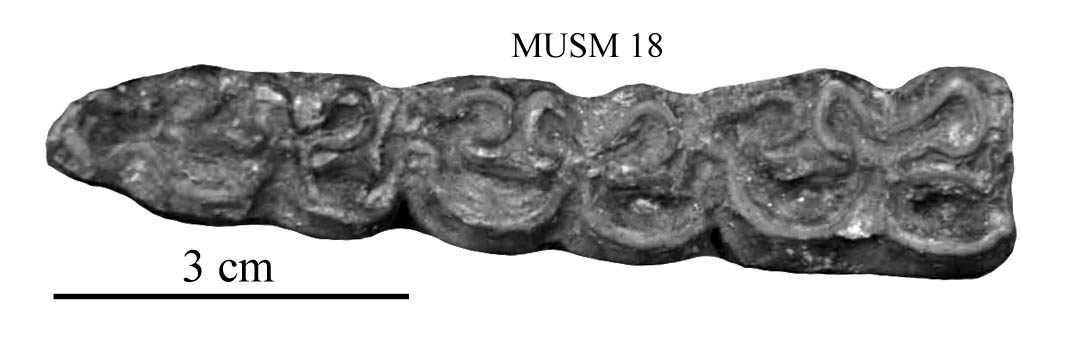 MUSM 18, Lower right M1-M3