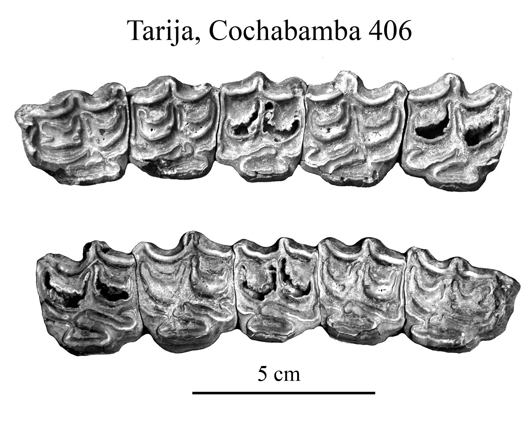 Tarija, Cochabamba 406, Upper Cheek Teeth