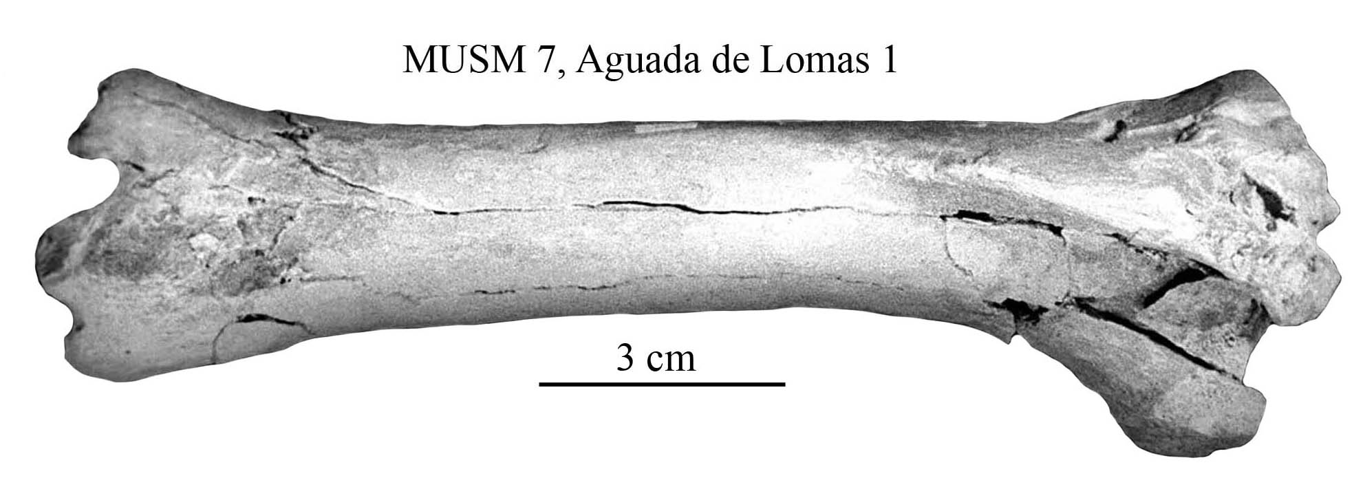 Equus Amerhipus Insulatus From Peru MUSM 7 Cranium And